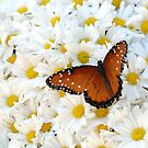 Butterfly on Daisies by Colleen Drew