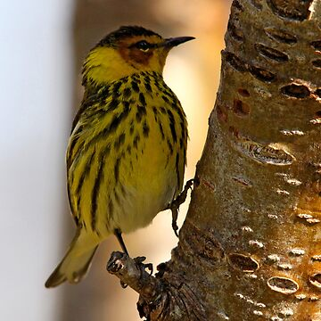 Cape May Warbler by DiamondWillow
