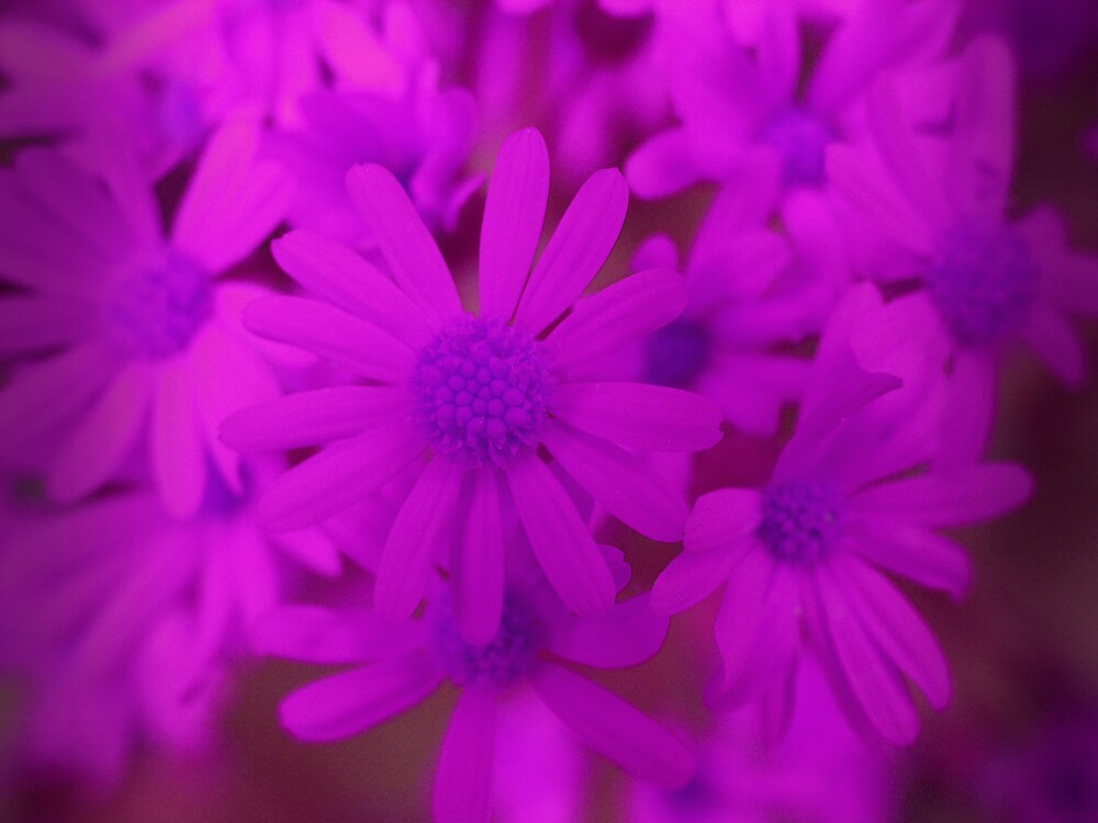 bright purple flowers by goofygirl1977