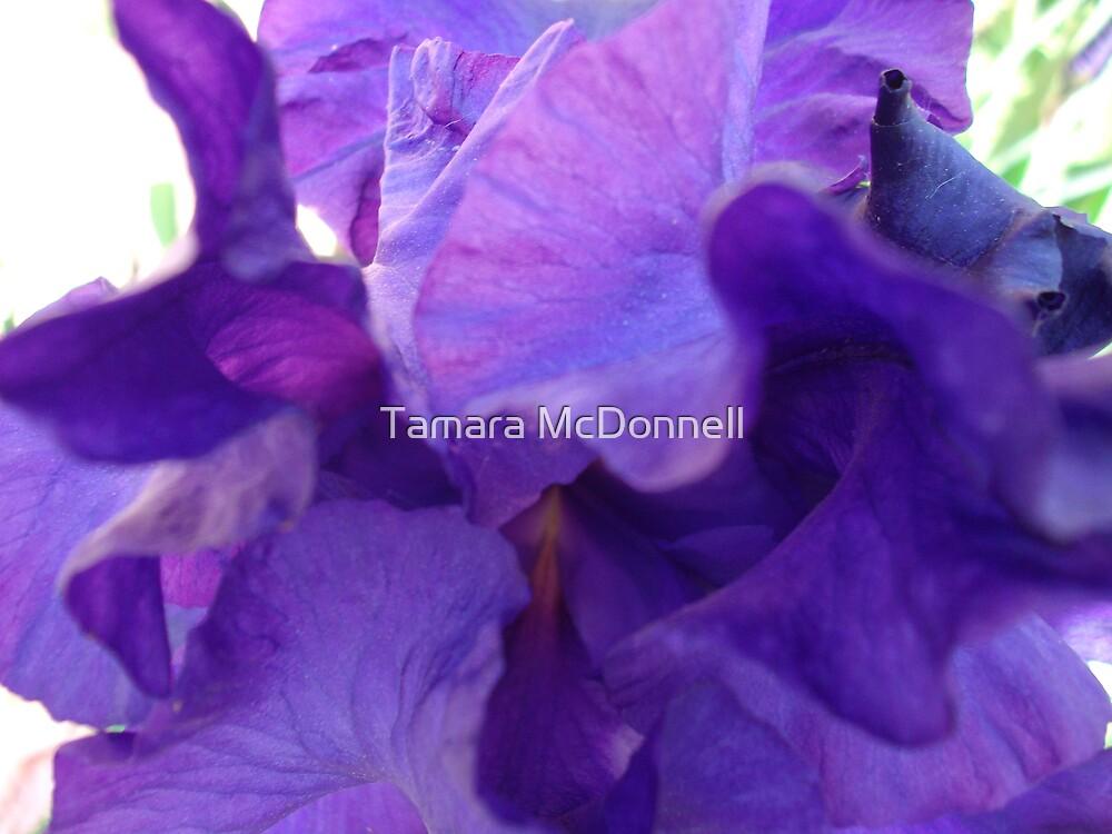 Deep Purple Iris  by Tamara Lindsey