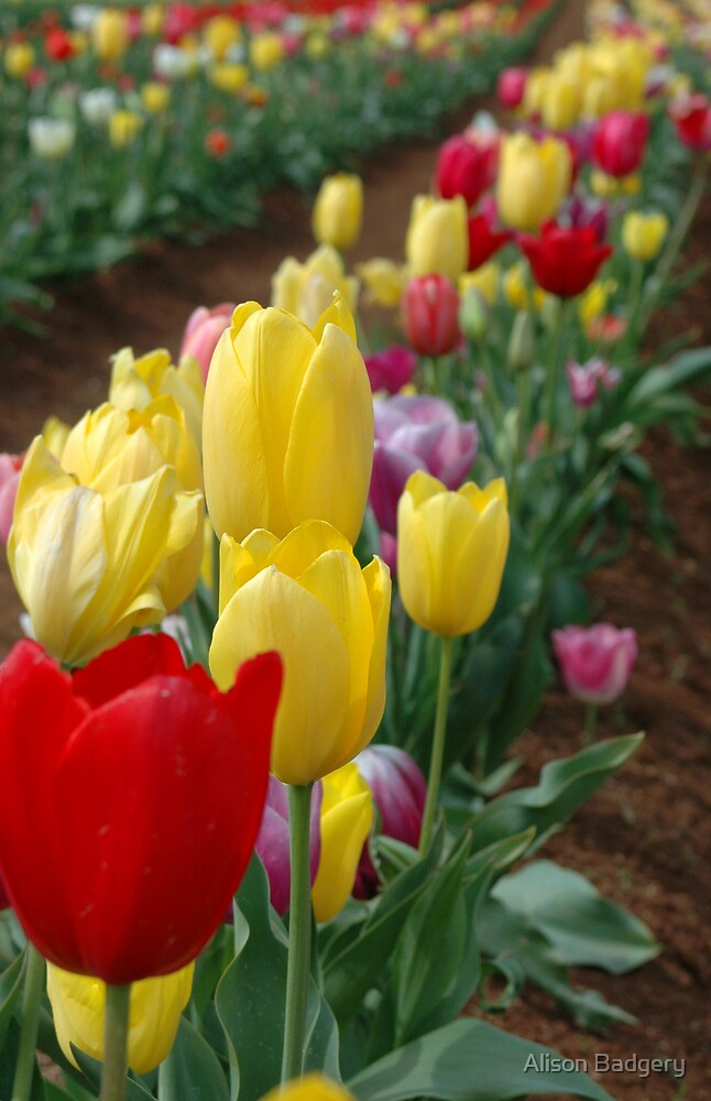 Tulips in full bloom  by Alison Badgery
