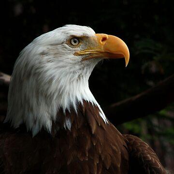 #1372 - Bald Eagle #2 by MyInnereyeMike