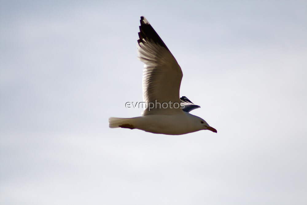 California Gull by evmphotos