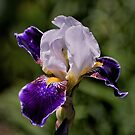 Iris - Purple and White by Len Bomba