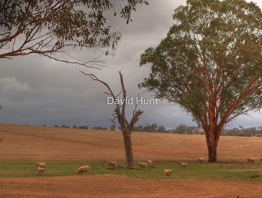 Sheep Grazing in Bare Fields - Benalla by David Hunt
