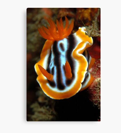 Chromodoris magnifica Canvas Print