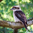 Kooka Looking by WendyJC