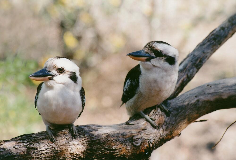Kookaburras by smallan