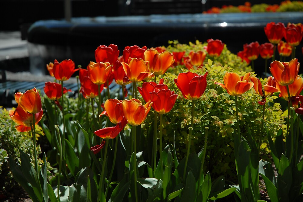 Tulips. by Santalum