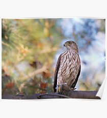 Cooper's Hawk with Prey Poster
