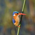 Malachite Kingfisher by quentinjlang