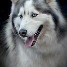 Siberian Husky  by Eyal Nahmias