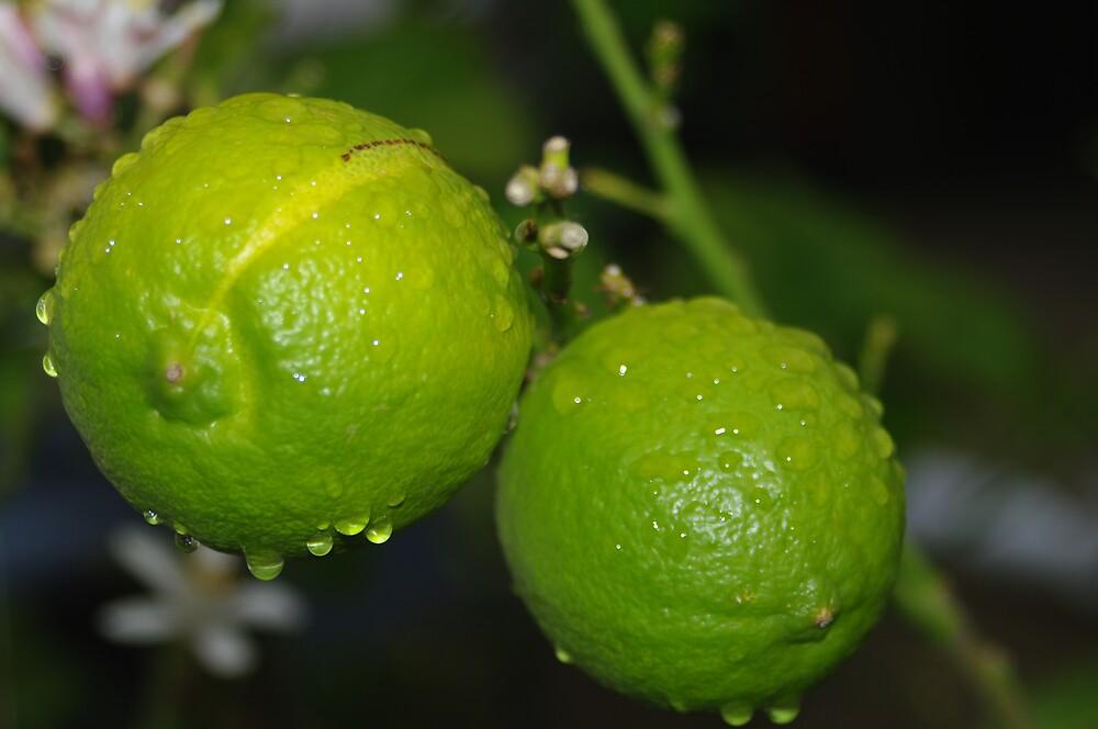 lemon's not ready yet  by janfoster
