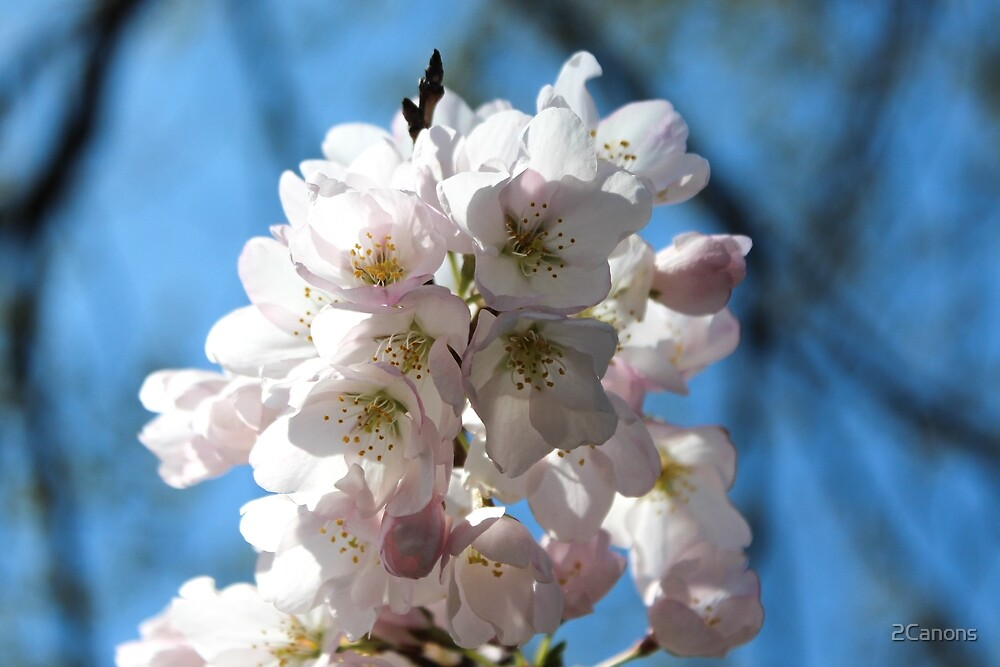 Cherry blossoms April 2014 by 2Canons