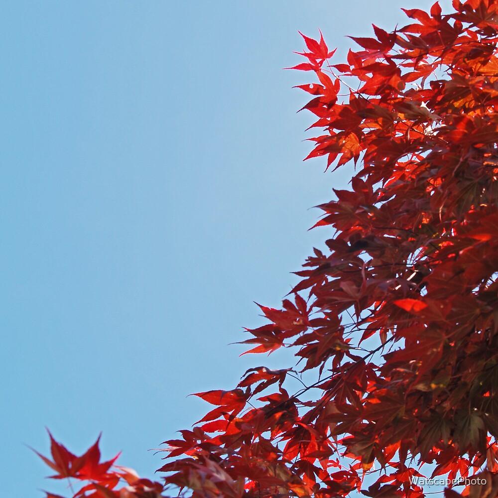 Acer by WatscapePhoto