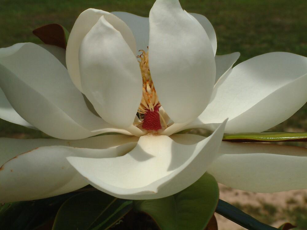 Southern Magnolia by GulfCoastArtist