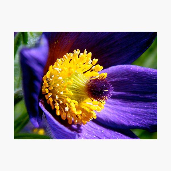 Pulsatilla Purple Photographic Print