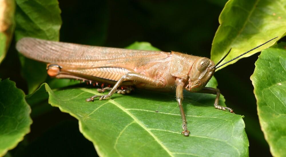 Grasshopper by kerryedward