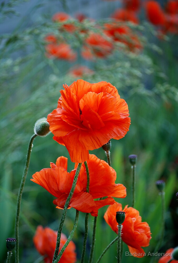More Poppies by Barbara Anderson