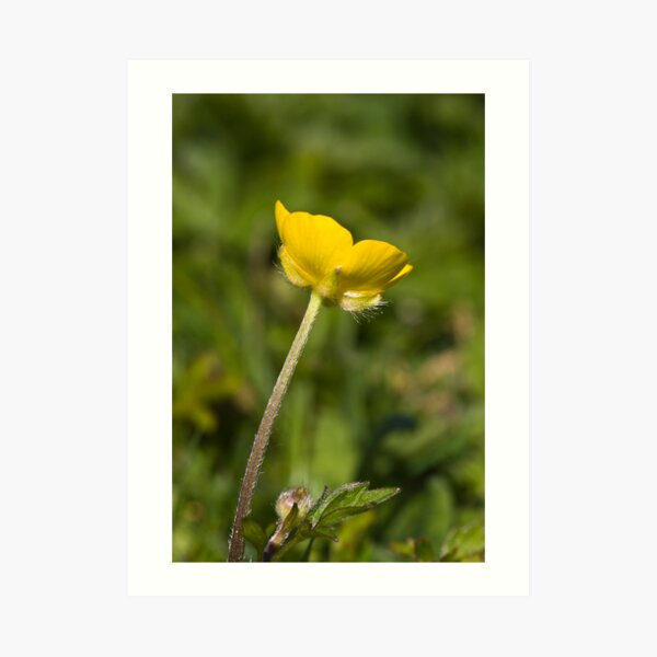 Creeping Buttercup (Ranunculus repens) Art Print