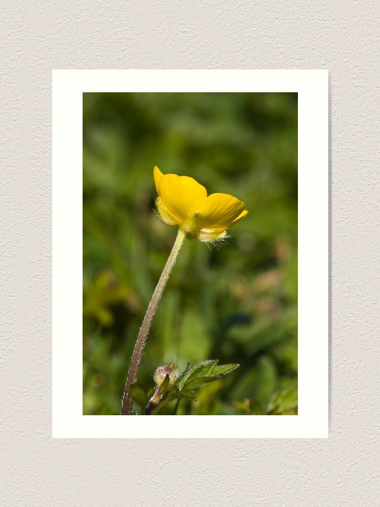 Alternate view of Creeping Buttercup (Ranunculus repens) Art Print