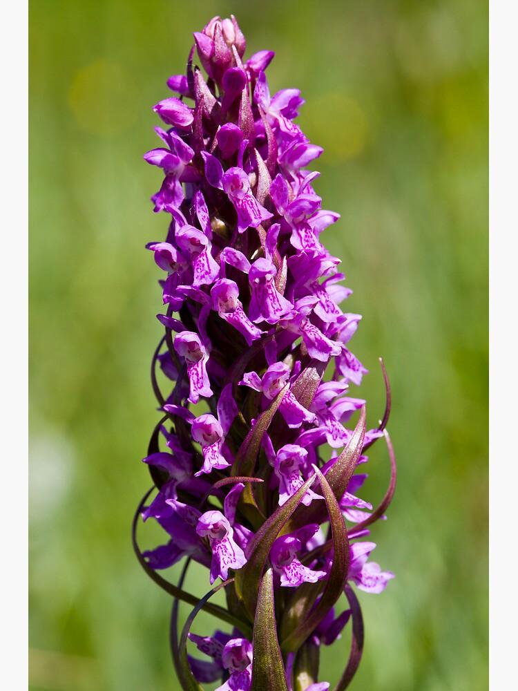 Early Marsh Orchid (Dactylorhiza incarnata) by SteveChilton