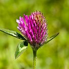 Red Clover (Trifolium pratense) by Steve Chilton