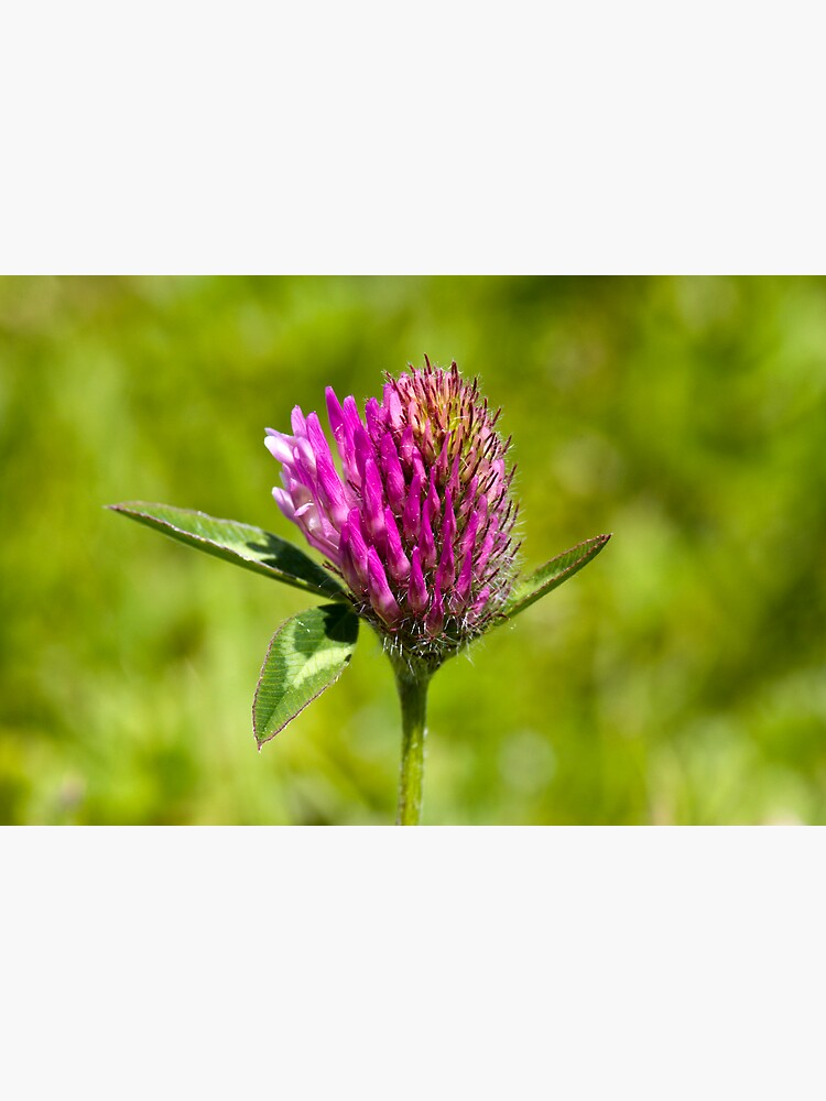 Red Clover (Trifolium pratense) by SteveChilton