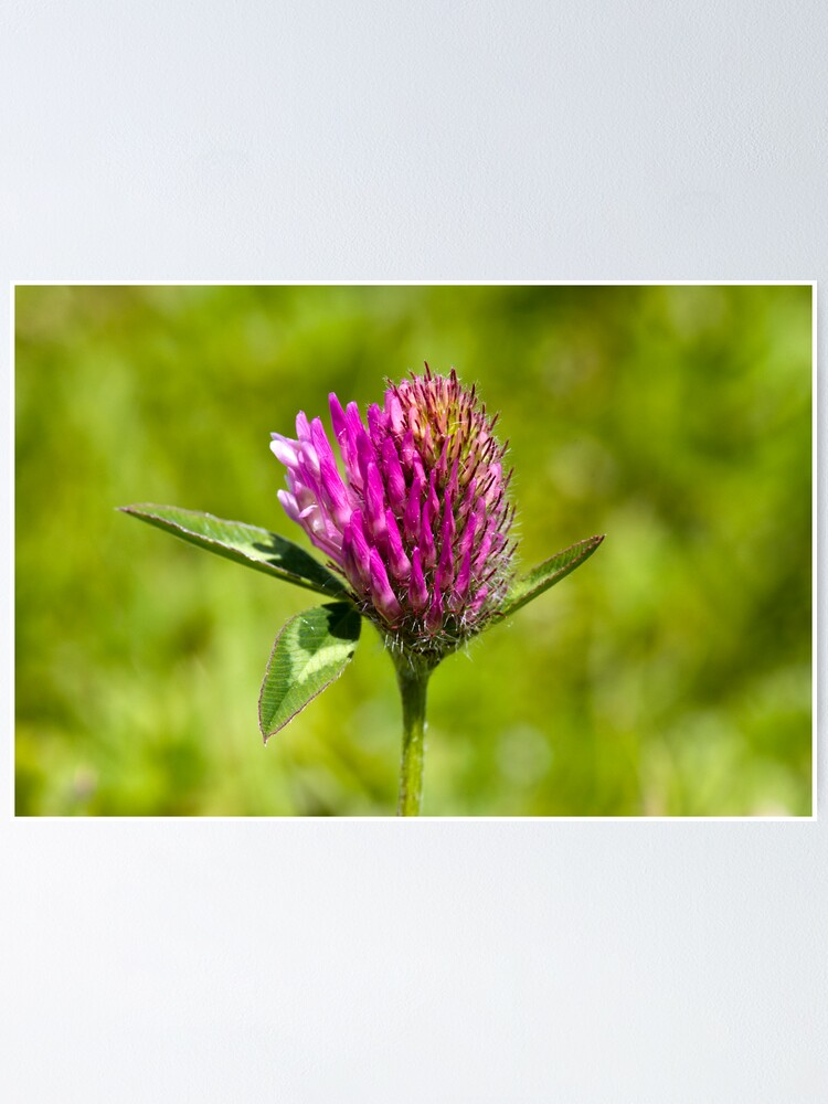 Alternate view of Red Clover (Trifolium pratense) Poster