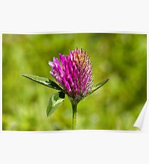Red Clover (Trifolium pratense) Poster