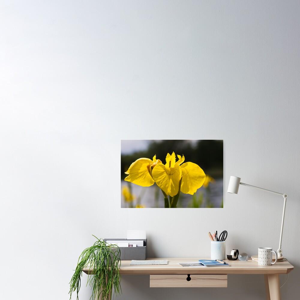 Yellow Iris (Iris pseudacorus) Poster