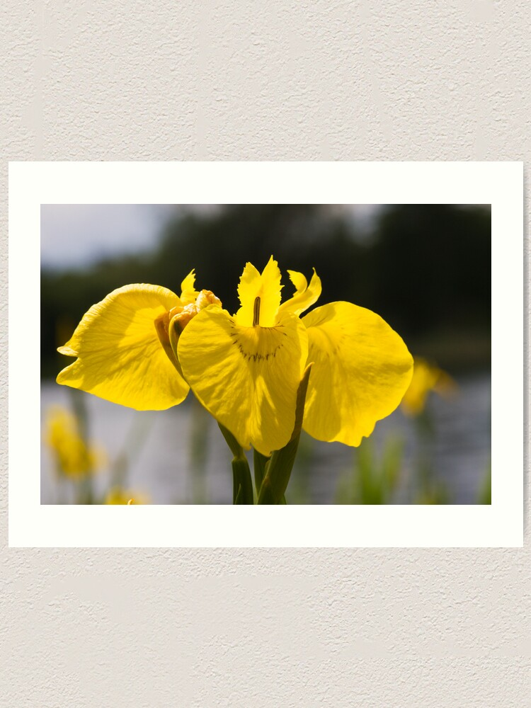Alternate view of Yellow Iris (Iris pseudacorus) Art Print
