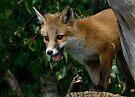 Fox cub by Foxfire