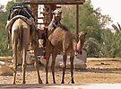 Camels by Dawne Olson