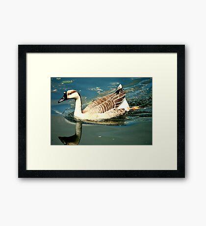 Baby Swan Framed Print