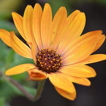 Petals of Orange by lizdomett