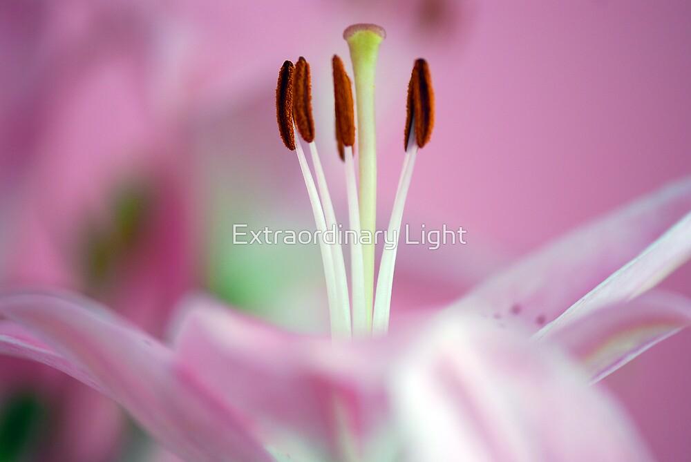 Soft Pinks by Extraordinary Light