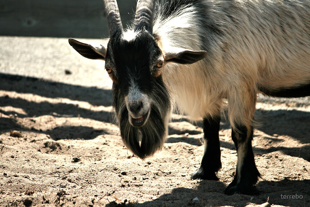 Smiling White And Black Goat by terrebo