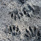Animal Prints in the Sand by Virginia N. Fred