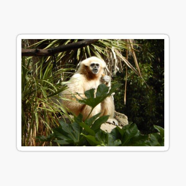 White Handed Gibbon 001 Sticker