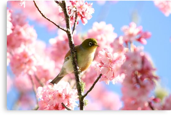 Wax Eye in Cherry Blossoms by JaimeWalsh