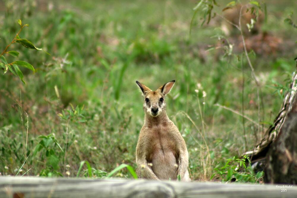 Wallaby by kerryedward