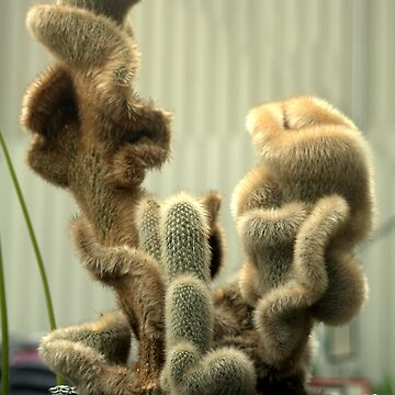 Beautiful Hairy Cacti - Cleistocactus Strausii by TeAnne