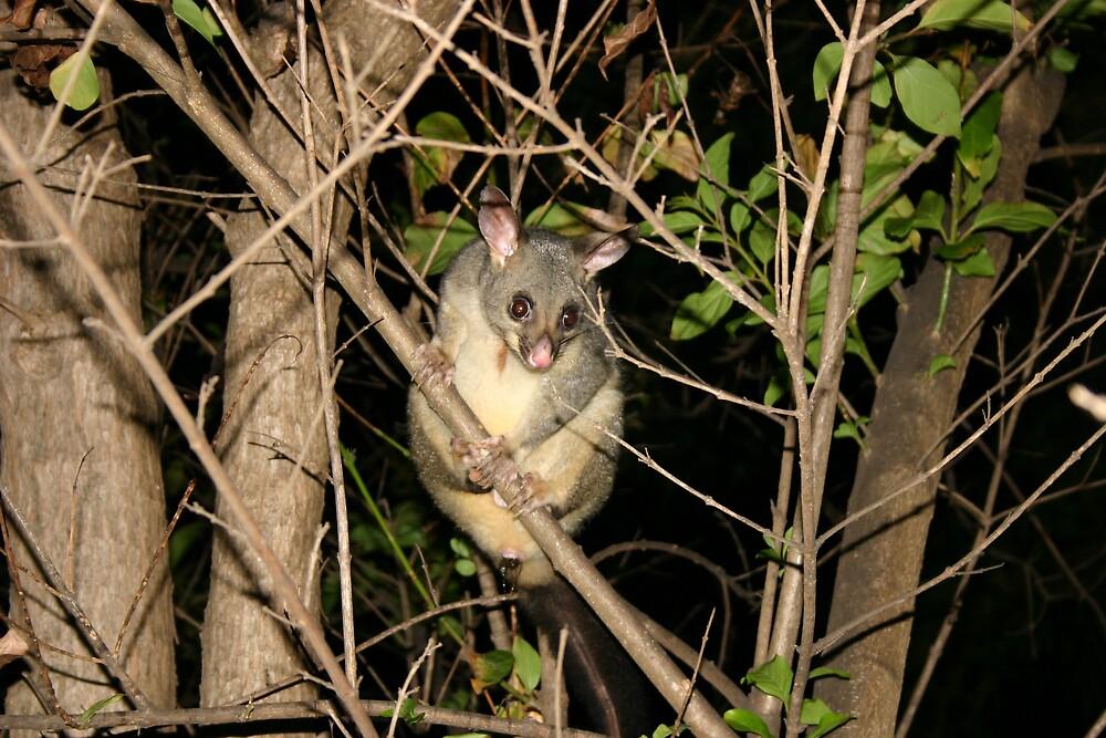 Possum by kerryedward
