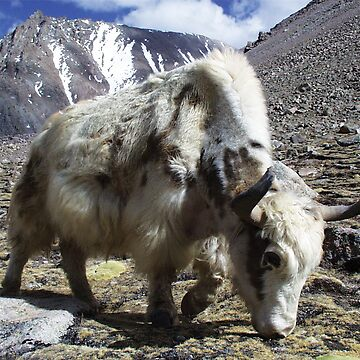 Yak, around the Kora Mt Kailash, Tibet by zavi