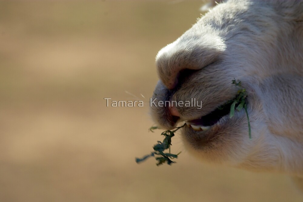 White Alpaca by Tamara  Kenneally