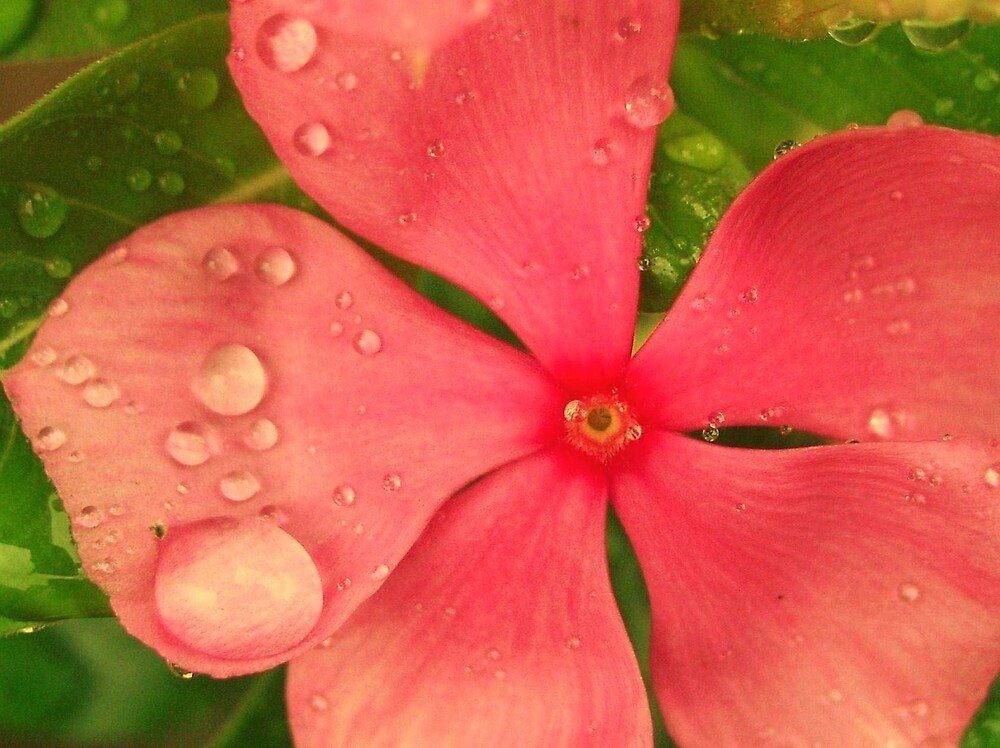 Raindrops on a Flower by chiogonzalez