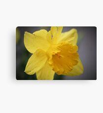 Spring Daffodils #2 Canvas Print