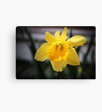 Spring Daffodils #3 Canvas Print