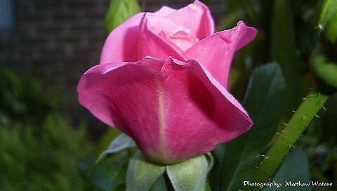 A Pink Rose by Matthew Waters